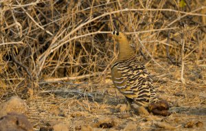 Painted Sandgrouse-1